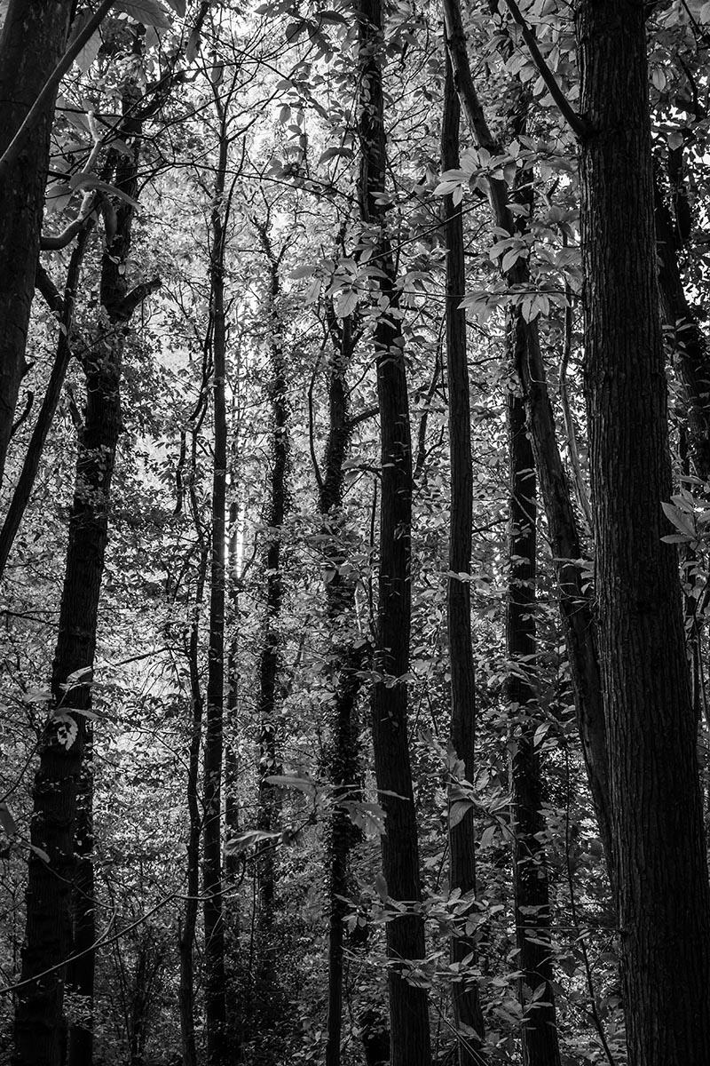 Photo noir et blanc Dans les bois des arbres allant vers le ciel
