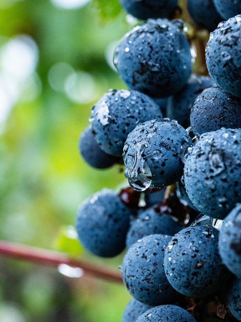 Macrophotographie d'art Profil d'une grappe de raisins